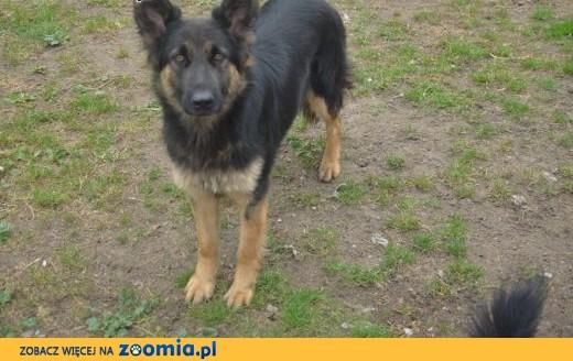 Orionka- śliczna psina szukająca własnego domu,  mazowieckie Józefów
