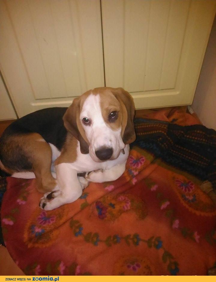 5 miesięczny piesek rasy Beagle
