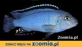 Rybki pyszczaki pseudotropheus socolofi