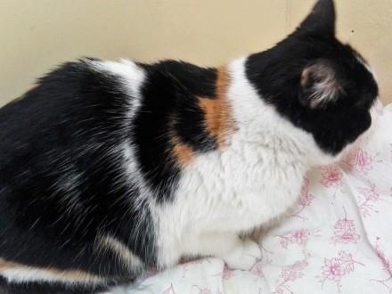 Basiulka  piękna TRICOLORKA  proludzka koteczka do pokochania!