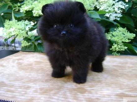 Pomeranian szpic miniaturowy - czarny