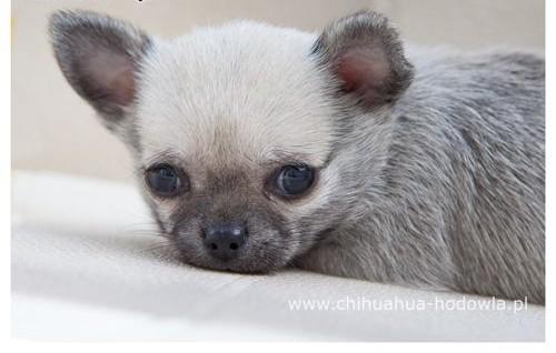Chihuahua miniaturka   szczeniak  rodowód ZKwP / FCI  szczeniaki  szczeniaczki    Chihuahua cała Polska