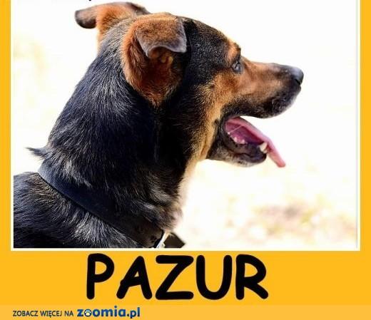 Duży, do domu z ogródkiem, przyjazny,spokojny pies PAZUR.Adopcja,  śląskie Katowice