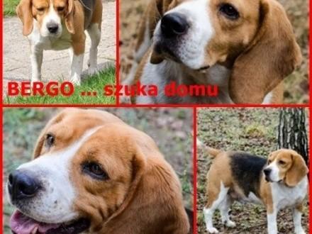 Bergo szuka domu!    Beagle cała Polska