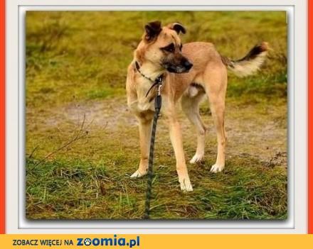 1 5 roczny  duży 20 kg pies bardzo przyjazny łagodny AWATAR_Adopcja