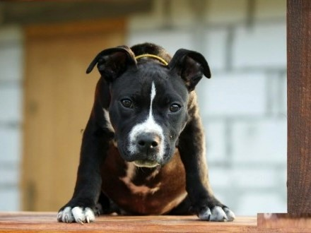 American Stafford Shirre Terrier