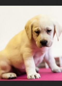 Labrador biszkopt