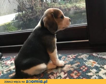 Kontakt ze szczeniakiem rasy beagle i suczką po więcej szczegółów