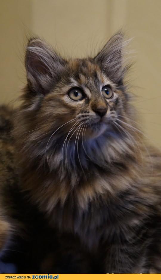 Prześliczna Koteczka Cersej LeśnyRex*Pl szuka kochającego domu