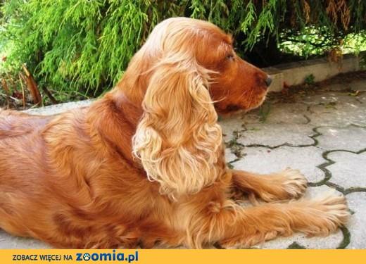 złoty szczeniak Cocker Spaniel,  małopolskie Kęty