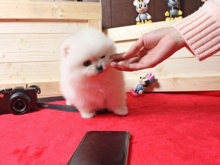 Miniaturowy miś szpic pomeranian Boo Cześć