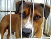 PIOTRUŚ piękny, mądry, łagodny pies w typie AST szuka domu