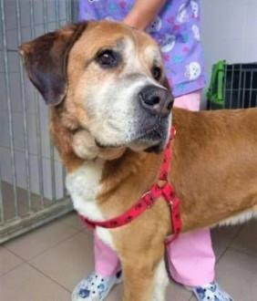 LUKAS - piękny pies w typie molosa bardzo pilnie szuka domu   mazowieckie Warszawa