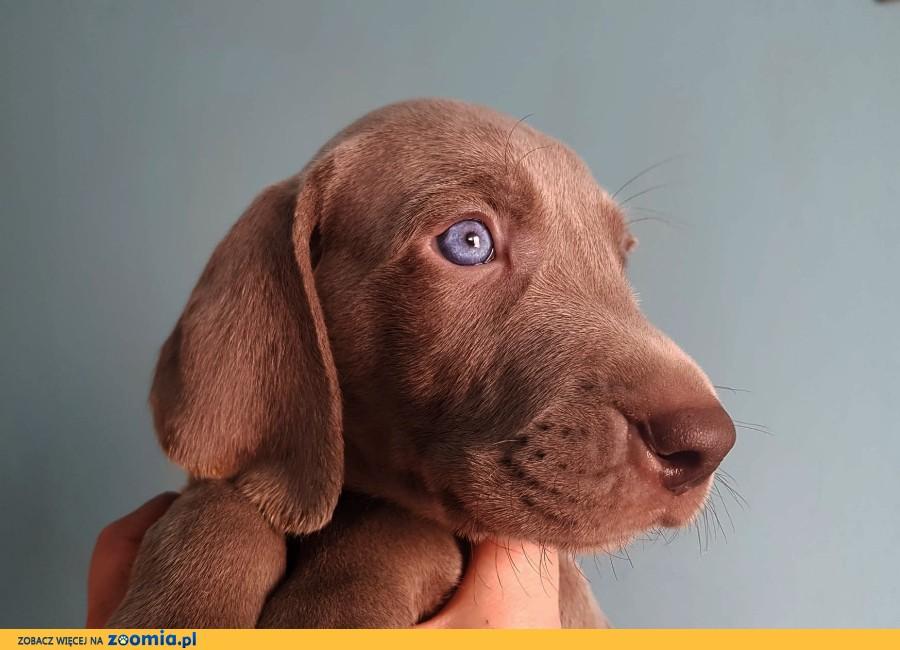 Wyżeł weimarski - szczeniaki do odbioru w marcu