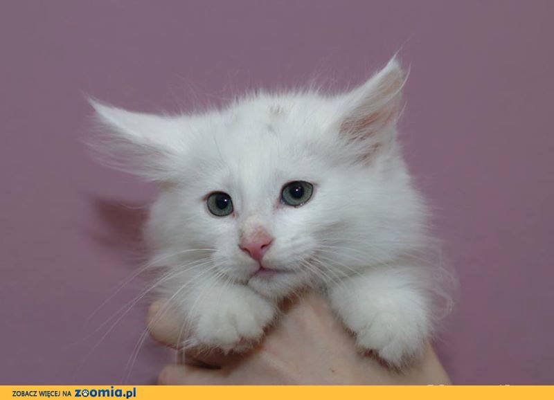 Białe Kocięta Norweskie Poszukują Nowych Kochających Opiekunów