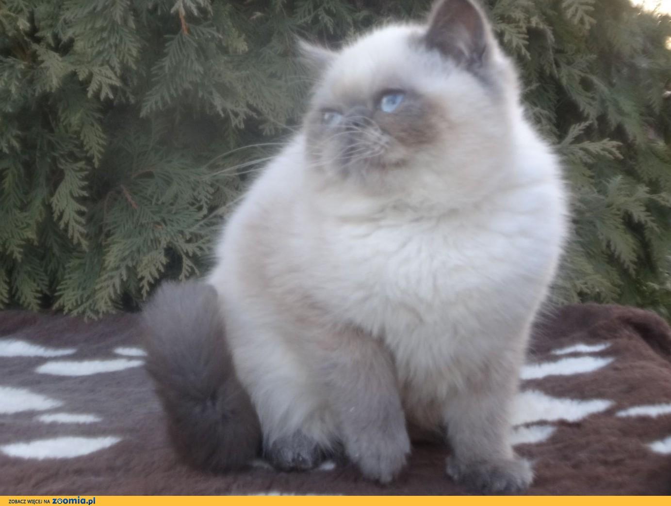 Kocurek egzotyczny (rod. FIFe), kontaktowy kociak z charakterem