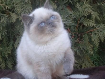 Kocurek egzotyczny (rod FIFe)  kontaktowy kociak z charakterem