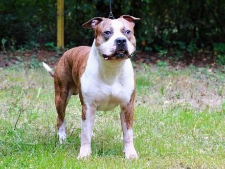 AMSTAFF American Staffordshire Terrier-PIES na WSPÓŁWŁASNOŚĆ- ZKwP/FCI