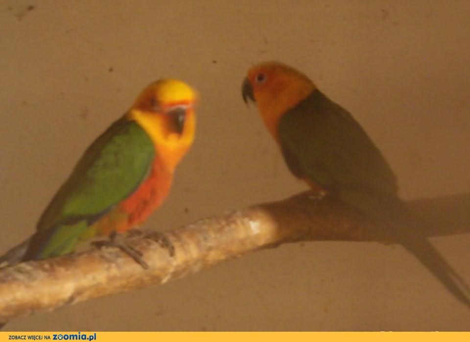 Papugi konury aratinga jendaj