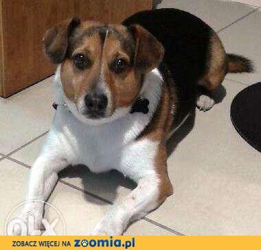 POMÓŻCIE ! - Zaginął ukochany pies Kajtek (mieszaniec Beagla)!