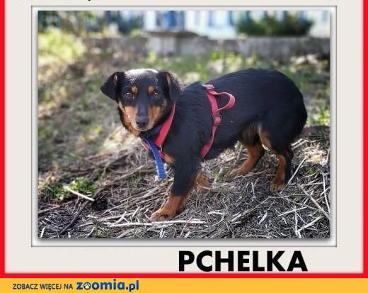 6kg,mała,łagodna,młodziutka,sterylizowana suczka PCHEŁKA.ADOPCJA,  łódzkie Łódź