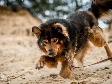 BROOKLYN - mądre kochanie i masz psa, co piękną duszę ma!,  świętokrzyskie Kielce