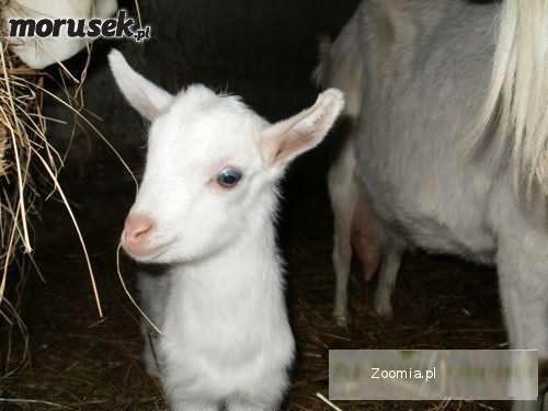 Sprzedam Młodę Kózki i kozy mleczne