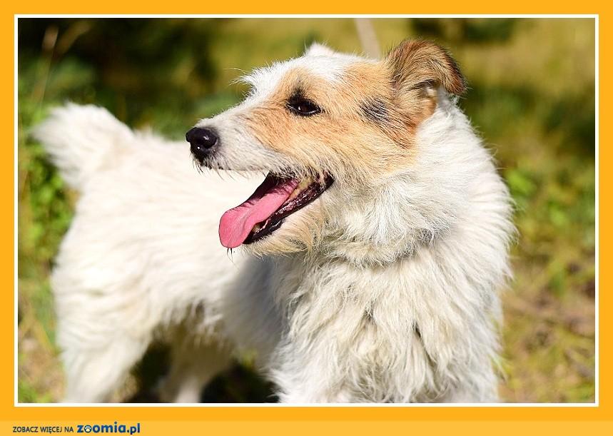 BOBER, sredni pies, foksterierr mix, energiczny,wesoły_Adopcja_