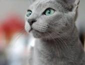 Koty rosyjskie niebieskie - rodowód FIFE, FPL do odbioru w kwietniu,  pomorskie Słupsk
