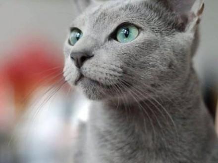 Koty rosyjskie niebieskie - rodowód FIFE  FPL do odbioru w kwietniu   pomorskie Słupsk