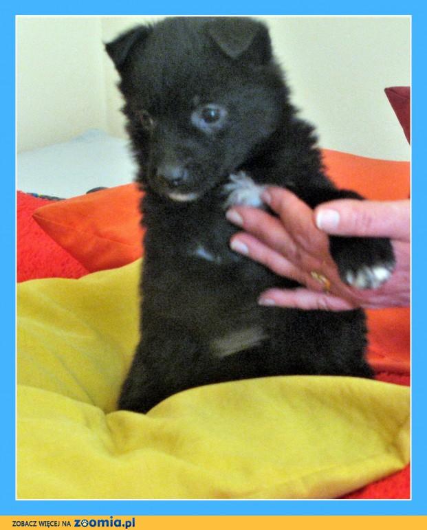 6 tygodniowe, odrobaczone szczeniaki piesek i suczki_Adopcja