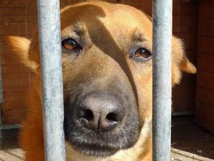Bravo-rudy  wesoły  energiczny psiak dla doświadczonych psiarzy!