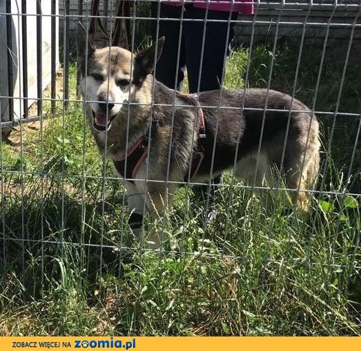 GIENEK 8 letni porzucony psiak w typie ON szuka domu,  mazowieckie Warszawa