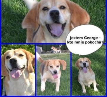 Beagle George szuka domu!    Beagle cała Polska