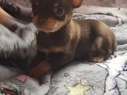Do adopcji dostępne są wspaniałe szczenięta chihuahua