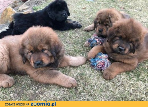 Tibetan mastiff puppies for sale with FCI pedigree microchip,  dolnośląskie Wrocław