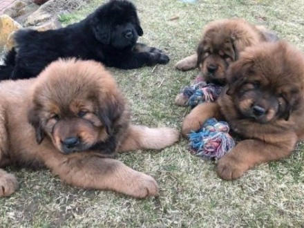 Tibetan mastiff puppies for sale with FCI pedigree microchip   dolnośląskie Wrocław