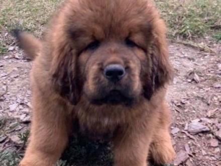 Tibetan mastiff puppies for sale with FCI pedigree microchip,  dolnośląskie Wrocław