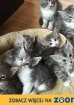 Piękne srebrzyste kocięta Maine Coon=======