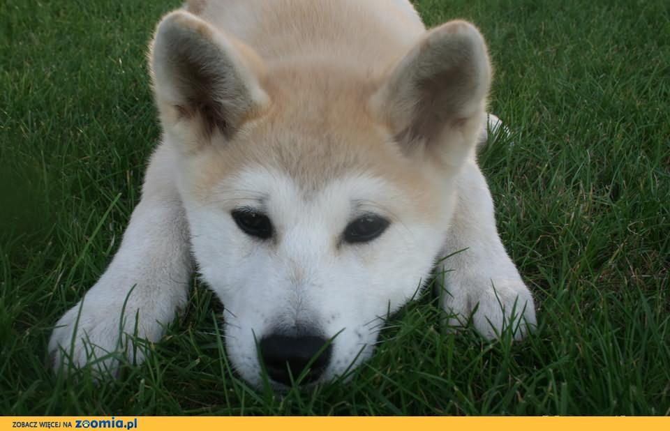 Akita japońska, Rodowodowe szczeniaki.