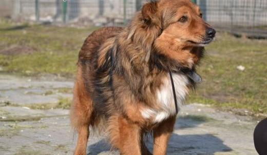 Misio - śliczny rudy pies lisek do adopcji   śląskie Częstochowa