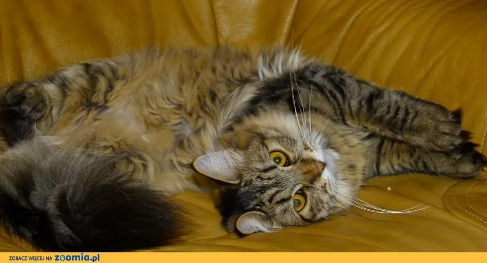 Urocze kociaki syberyjskie z Dzikiej Syberii*pl