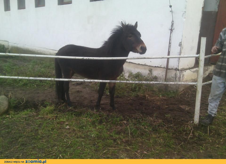 Sprzedam wielblada i mula