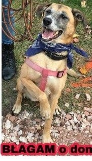 GUSTAW - kochany, łagodny psiak w średnim wieku szuka domu,  mazowieckie Warszawa