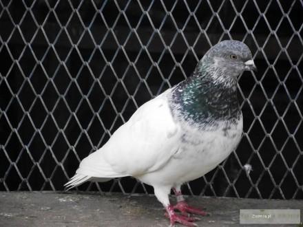 Sprzedam Gołębie Budapeszt samiec