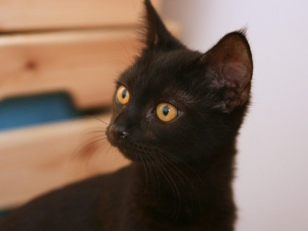 Zaginęła czarna kotka - Łódź Bałuty