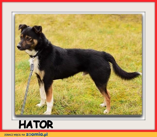 Średni 14 kg,łagodny, energiczny,przyjacielski psiak HATOR_Adopcja