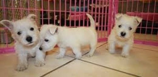 West highland white terrier szczeniak   lubuskie Rzepin