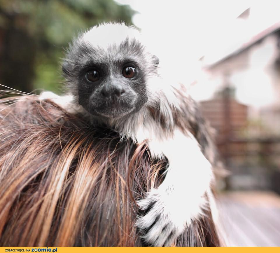 Sprzedam małpkę gatunku TAMARYNA BIAŁOCZUBA