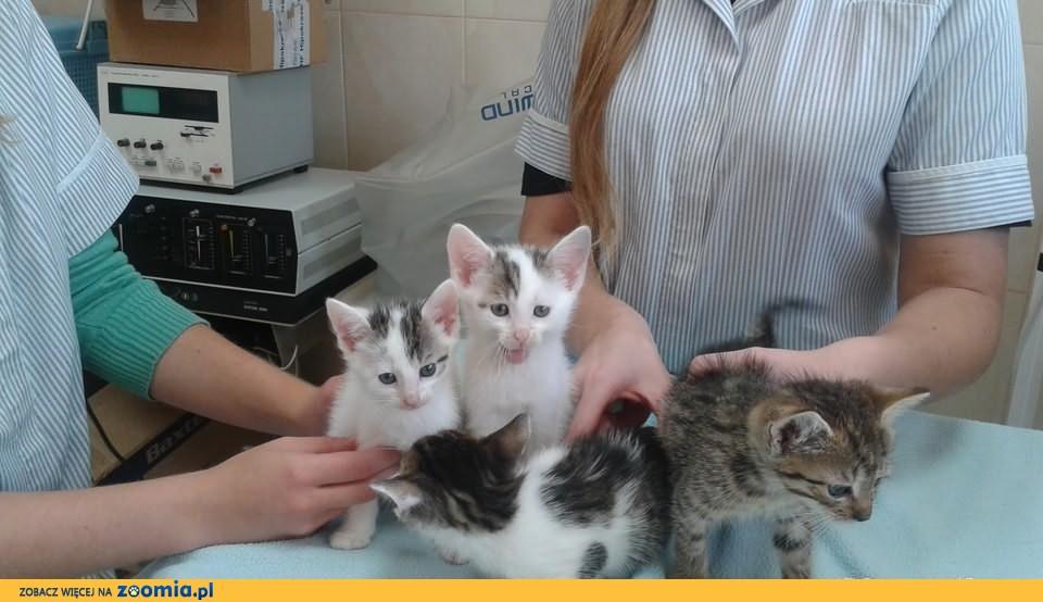 Kociaki do adopcji za darmo